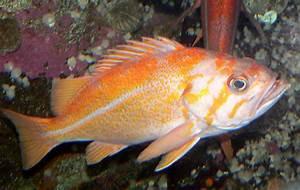Canary Rockfish - Redorbit