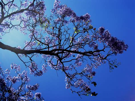Free Images : tree branch blossom sky sunlight leaf