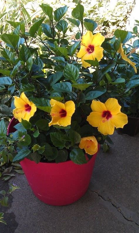 potted tropical hibiscus tropicals