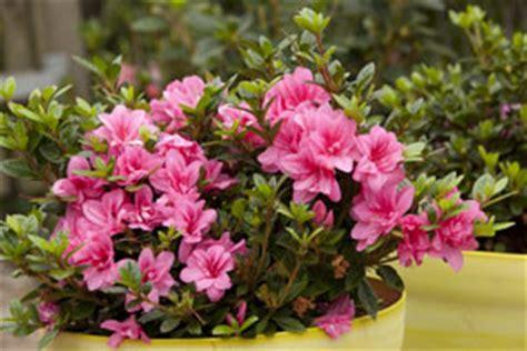 rhododendron en pot entretien rhododendrons hiver tout