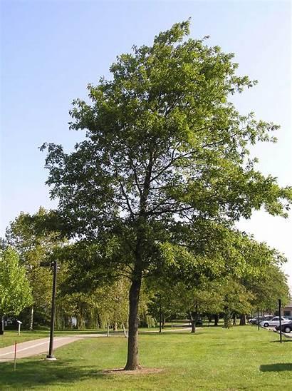 Oak Trees Native Tree Habit Indiana Habitat