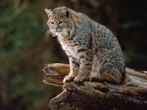 bob cat beautiful bobcat in the world