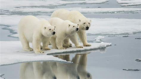polar bears head north  arctic warms science aaas