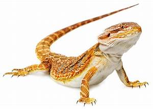 ultimate bearded dragon diet guide what do bearded With how often do bearded dragons go to the bathroom