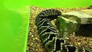 Hybrid Rattlesnake At Reptile World Serpentarium