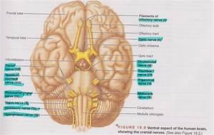 A U0026p Cranial Nerves Diagram Flashcards