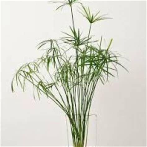 planter un papyrus en pot cultiver un papyrus en int 233 rieur
