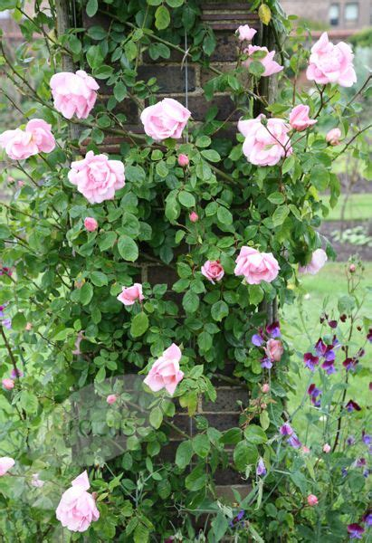 Rose Rosa 'new Dawn'  One Of The Most Vigorous Climbing