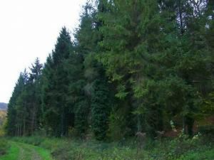 File Evergreen Trees  Erlestoke Park Woods  Erlestoke - Geograph Org Uk - 729294 Jpg