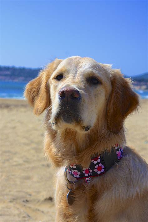 golden retriever   beach anna    retrievers