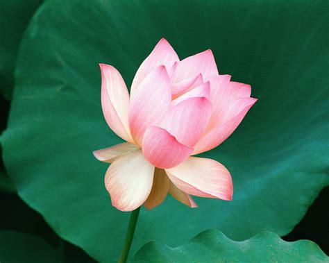 roze - Roses Wallpaper (33610866) - Fanpop