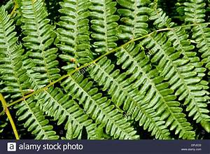 Close Up Of A Lady Fern In The Undergrowth Of The Great