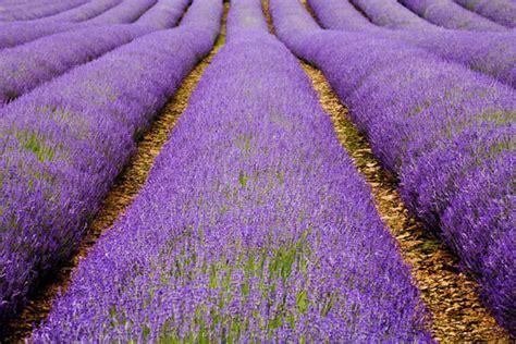 cotswold lavender  charlie waite  antony spencer