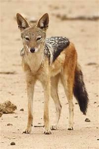 18 best Jackals images on Pinterest | Wild animals, Animal ...