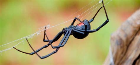 Viuda Negra fabricando su red de seda