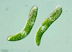 Protist Images  Euglena Obtusa