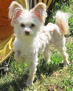 Chi Chi Dog (Chihuahua-Chinese Crested Mix) Info ...