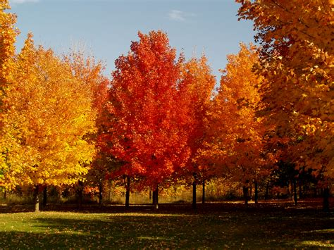 trees with fall color maple trees archives knecht s nurseries landscaping