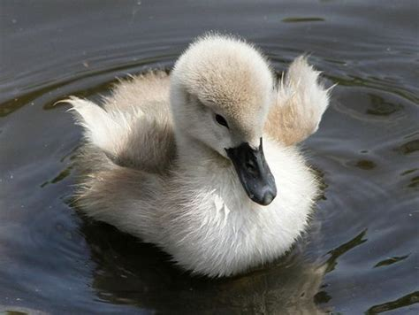 17 Best Images About Ducks, Baby Ducklings On Pinterest