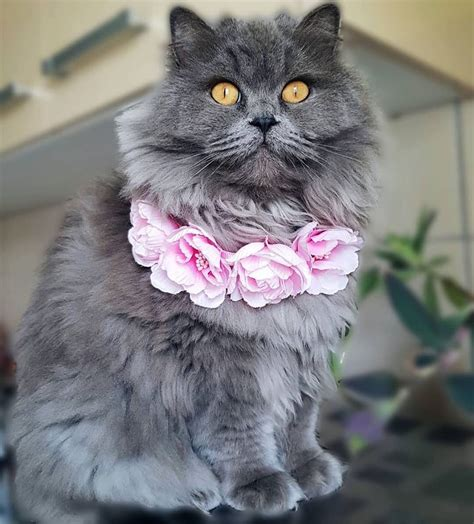 cats breeds pety cat