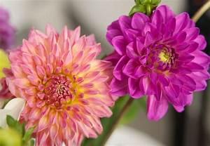 Wann Dahlien Pflanzen : dahlien im haus vorziehen gartentipps garten dahlien und garten pflanzen ~ Frokenaadalensverden.com Haus und Dekorationen