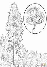Pine Coloring Tree Ponderosa Trees Printable Realistic Drawing Template Leaves Designlooter Sketch 1440px 99kb 1020 Recommended Drawings Sosna sketch template