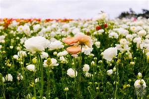 The, Flower, Fields, At, Carlsbad, Ranch