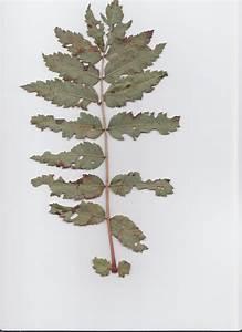 Was Ist Das Für Ein Baum : was ist das f r ein baum strauch sorbus aucuparia ~ Buech-reservation.com Haus und Dekorationen