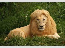 Weißer Löwe, Afrika Löwen, Südafrika, Reise