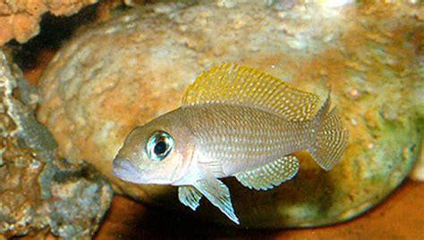 poisson lac tanganyika aquarium neolrologus caudopunctatus eau douce afrique lac tanganyika aquarium webzine l