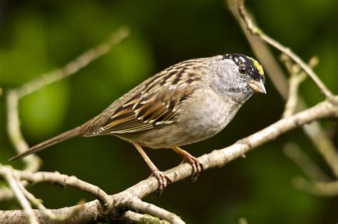 Golden Crowned Sparrow Wikipedia
