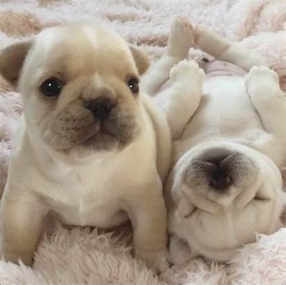French Bulldog Puppy Reblog