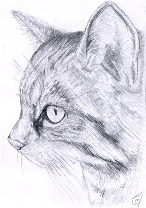 scottish wild cat sketch  janiceduke  deviantart