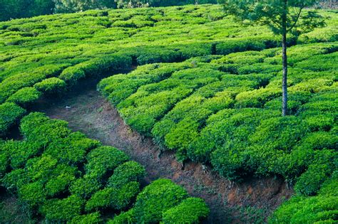 hd desktop wallpaper  india wallpaper  fields tea