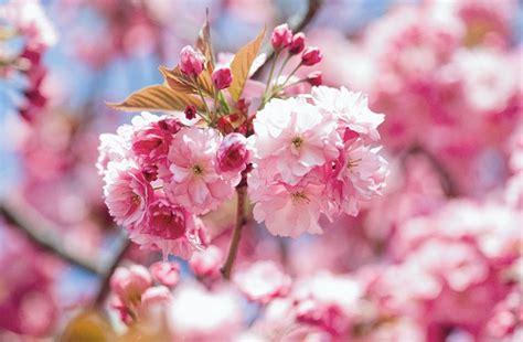 japanese trees with pink flowers prunus kanzan japanese flowering cherry