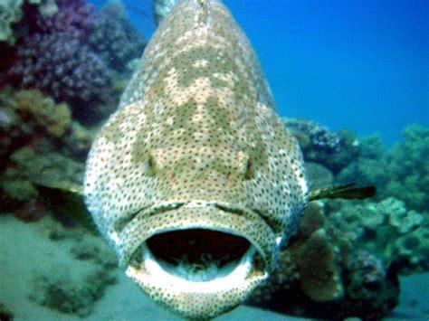 grouper giant ocean range otlibrary