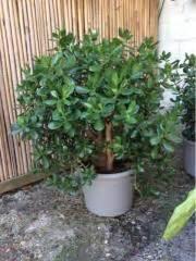 Chinesischer Geldbaum Kaufen : geldbaum pflanzen garten g nstige angebote ~ Michelbontemps.com Haus und Dekorationen
