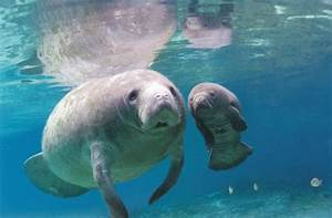 Swimming With the Manatees, Part 1 | Mr. Write's Page