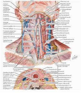 Anatomy Of The Thyroid And Parathyroid Glands Superficial