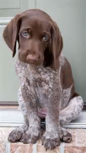 25 best ideas about haired dogs on haired breeds pointer puppies