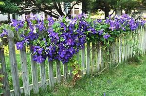 clematis on fence | Garden ~ inspiration | Pinterest