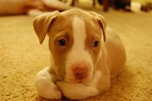 Cute Little Red Nose Pitbull | Babies | Pinterest