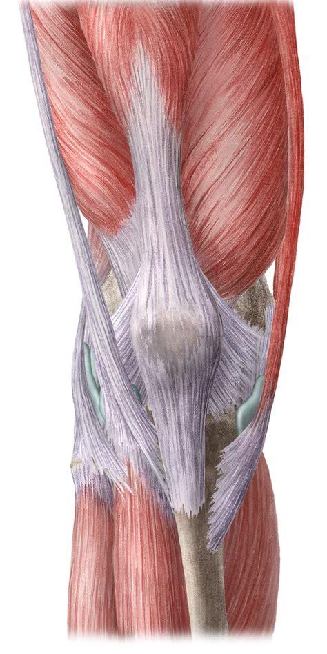knie und bein anatomie lernhilfe kenhub