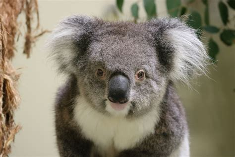 Spire Fm  News  Koalas Arrive At Longleat After Flying 10,000 Miles From Australia