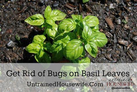 basil plant pests bugs on the basil garden pests garden pinterest