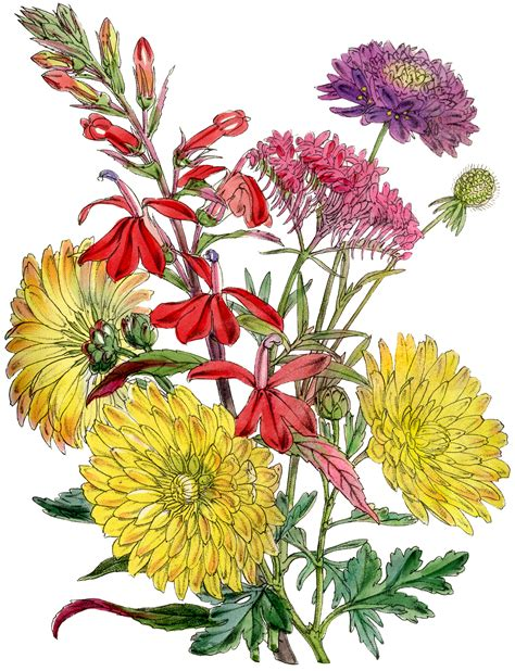 8 Chrysanthemums Images - Vintage Mums! - The Graphics Fairy