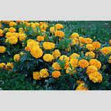 Marigold Flower Wallpaper | 1920 x 1200 jpeg 1149kB