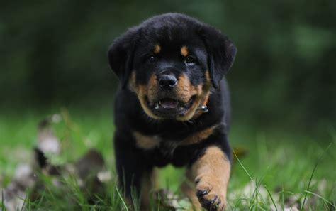 rottweiler puppy grass walkhd dog wallpaper
