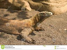 Comodo dragon stock image Image of dragon, lizard, rock