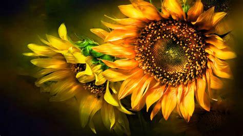 sunflower hd wallpaper wallpaper stream